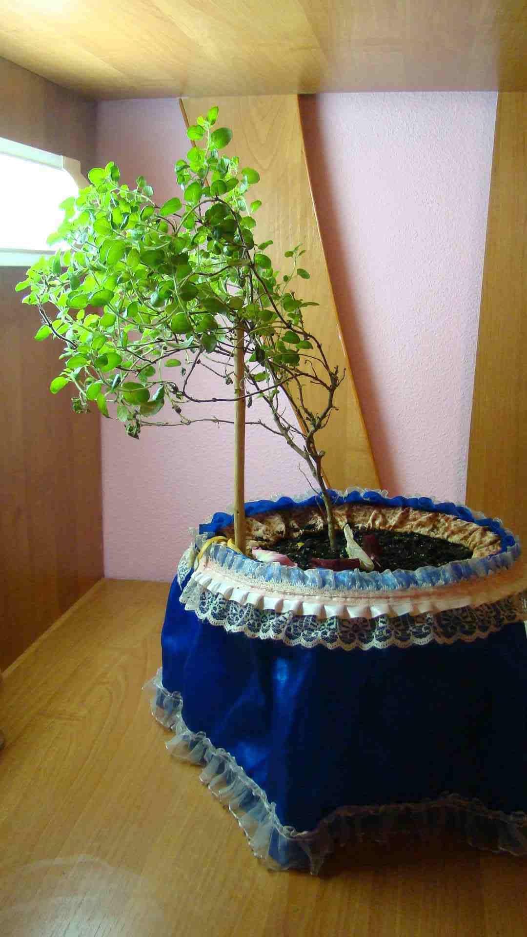 Выращивание дома туласи 80